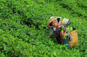 donna che raccoglie tè